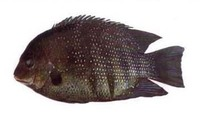 Etroplus suratensis, Green chromide: fisheries, aquaculture, aquarium