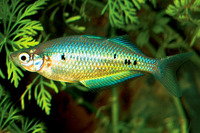 Glossolepis maculosus, Spotted rainbowfish: aquarium