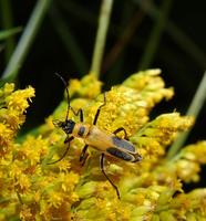 Image of: Chauliognathus pennsylvanicus (soldier beetle)