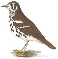 Image of: Zoothera guttata (spotted thrush)