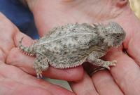 Image of: Phrynosoma solare (hornytoad and horned toad)
