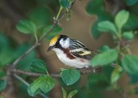 Chestnut-sided Warbler (Dendroica pensylvanica) photo