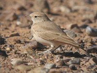 Bar-tailed Lark - Ammomanes cincturus