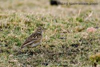 Short-billed Pipit - Anthus furcatus