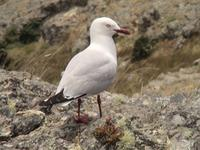 Red-billed Gull (Larus scopulinus)