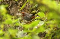 *NEW* Tucuman Mountain-finch