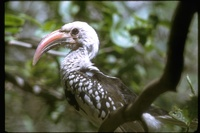 : Trochus erythrochynchus; Red-billed Hornbill