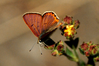 : Lycaena nivalis ssp. nivalis; Lilac-Edged Copper (male)