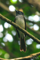 Asian Paradise-flycatcher 壽帶鳥