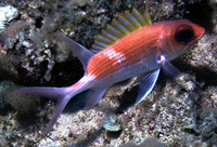 Holocentrus adscensionis, Squirrelfish: fisheries, aquarium