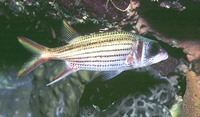 Neoniphon argenteus, Clearfin squirrelfish:
