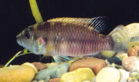 Chromidotilapia guentheri guentheri, Guenther's Mouthbrooder: fisheries, aquarium