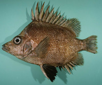 Pentaceros decacanthus, Bigspined boarfish: