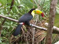 Image of: Ramphastos sulfuratus (keel-billed toucan)