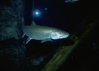 Salvelinus namaycush - Great Lake Trout