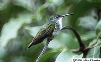 White-chested Emerald - Agyrtria brevirostris