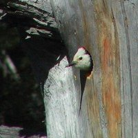 White-headed Woodpecker - Picoides albolarvatus