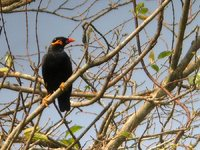 Common Hill Myna - Gracula religiosa