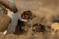 Bronze winged Courser chicks stock photo