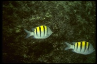 : Abudefduf abdominalis; Green Damselfish