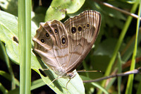 : Enodia anthedon; Northern Pearly Eye Butterfly