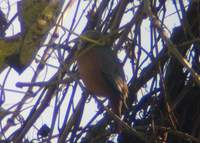 Chestnut-tailed Starling (Sturnus malabaricus) 2004. december 17. Wild Grass Lodge (tea garden)