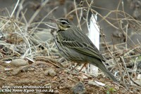 Fig. 1. Olive-backed Pipit : 힝둥새