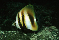 Coradion altivelis, Highfin coralfish: aquarium