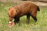 Speothos venaticus - Bush Dog