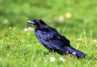Image of: Corvus corax (common raven)