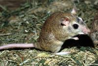 Tatera indica - Indian Gerbil