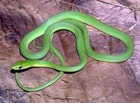 Image of: Opheodrys aestivus (rough green snake)