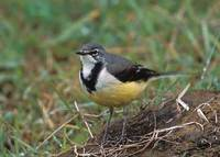 Madagascar Wagtail (Motacilla flaviventris) photo