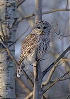 Barred Owl (Strix varia) photo