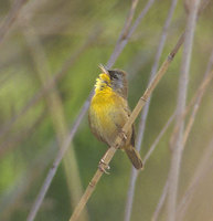 Gray-crowned Yellowthroat (Geothlypis poliocephala) photo