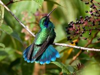 Green Violet-ear - Colibri thalassinus