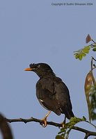 Jungle Myna - Acridotheres fuscus