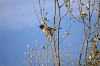 ...Pycnonotus xanthopygos , Israel Yellow vented Bulbul AKA White Spectacled Bulbul , This bird is