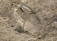 : Lepus californicus; Black-tailed Jackrabbit