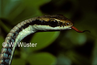 : Dendrelaphis pictus; Painted Bronzeback