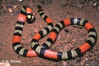 : Micrurus frontalis; Coral Snake