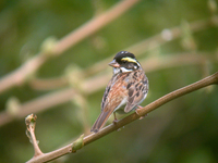 노랑눈썹멧새 Emberiza chrysophrys | yellow-browed bunting