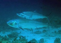 Chanos chanos, Milkfish: fisheries, aquaculture, gamefish, bait