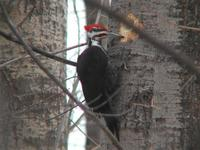 Image of: Dryocopus pileatus (pileated woodpecker)