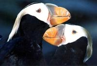 Image of: Fratercula cirrhata (tufted puffin)