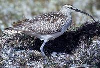 Image of: Numenius tahitiensis (bristle-thighed curlew)