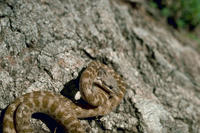 Image of: Hypsiglena torquata (night snake)