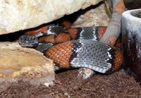 Lampropeltis alterna - Gray-banded Kingsnake