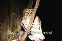 Long-tufted Screech-Owl - Megascops sanctaecatarinae