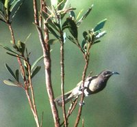 Dark-brown Honeyeater - Lichmera incana